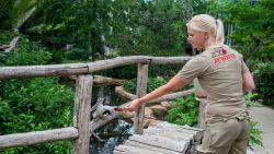 """Achter de schermen van de Zoo. Op pad met buffelverzorgster Kirsten: """"Met een wortel trainde ik Panya voor meer zelfvertrouwen"""""""