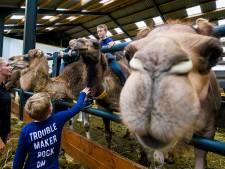 Kamelen in gezicht aaien mag nu even niet in Berlicum, het is coronatijd