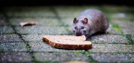 Twee keer zoveel meldingen over rattenoverlast