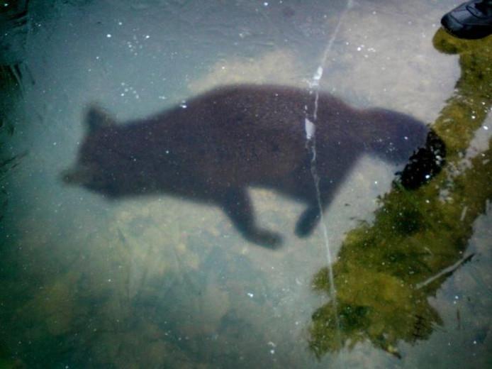 De vos in het ijs in de waterpartij in het Stadspark Staddijk. De voet en de schaduw zijn van Annie van den Heuvel. De foto werd op nieuwjaarsdag gemaakt, gisteren was de vos uit het ijs gehaald. foto Annie van den Heuvel