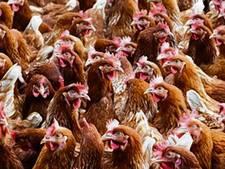 Kippenfarm Asten mag mestinstallatie bouwen