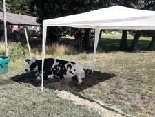 Boer uit Losser zet partytent op voor zieke koe