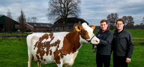 Deze koe uit Okkenbroek is de mooiste én beste van Nederland
