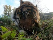 Video van de Dag | Deze tijger geniet van een speciaal hapje (en jij kan dat van dichtbij zien)