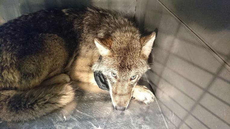 De (waarschijnlijk) 1-jarige wolf werd gered door drie bouwvakkers uit een bevroren rivier in Estland.