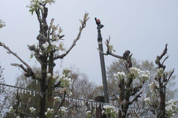 Sproeiers laten het regenen tijdens de vrieskou, waardoor de bloemen beschermd wordt door de energie die vrijkomt bij de vorming van ijs.