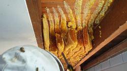 """Tienduizenden bijen zitten verstopt in plafond, bewoner heeft er """"geen last van"""""""