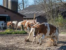 Koeien huppelend van enthousiasme naar buiten: 'Over een paar weken voelt heel Nederland zich zo'