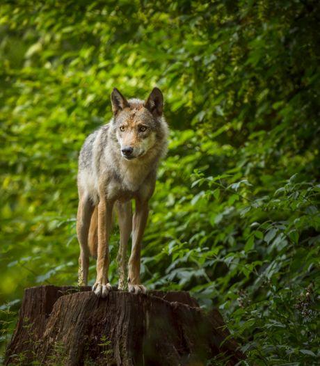 De wolf is terug en wordt nu al verguisd, maar ook bewonderd
