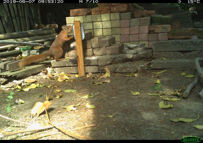 De eekhoorn, nummer 1 op de lijst met aangetroffen zoogdieren in Winterswijkse tuinen.