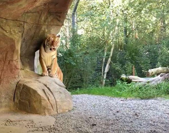 Tijgerin Irina verhuisde begin juli vorig jaar van een dierentuin in Denemarken naar de Zoo van Zürich.