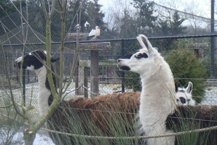 Lama's en ooievaren in dierentuin Zie-Zoö.