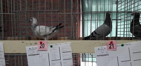 Elke duivenmelker wil wel een kampioenskind voor weinig