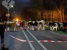 Koeien gaan 's nachts een stukje wandelen: politie haalt ze van de weg