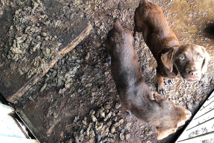 De verwaarloosden honden liepen rond in hun uitwerpselen