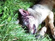 Un autre louveteau retrouvé mort dans le Limbourg