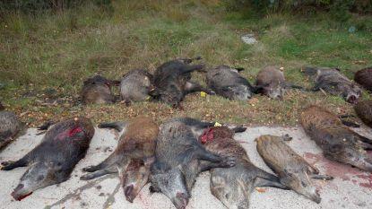 Meer dan zestig everzwijnen geschoten tijdens drijfjacht in Hechtel-Eksel