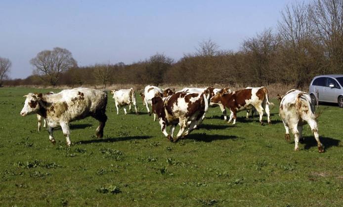 Brabant kent forse problemen als gevolg van de enorme veestapel. FOTO AB HAKEBOOM