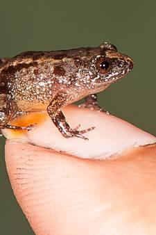 Deze mini-kikker zit moeiteloos op je duimnagel