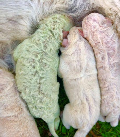 Puppy 'Pistacchio' met groene vacht geboren op Sardinië