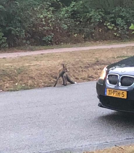 Vos aan de wandel in Arnhem-Zuid