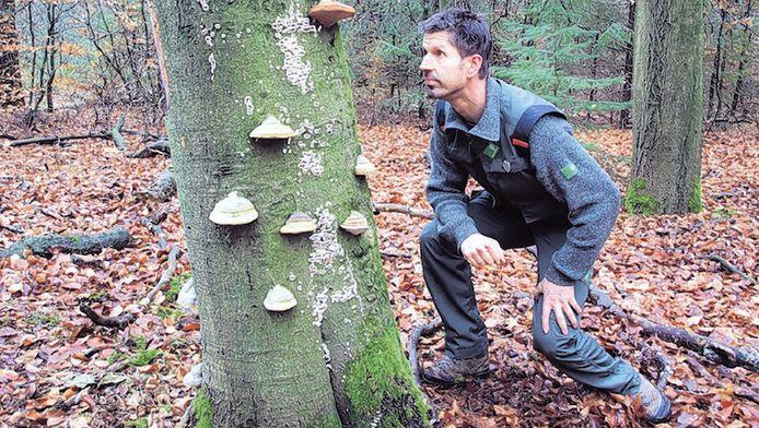 Boswachter Rein Zwaan bekijkt enkele tonderzwammen: 'Ze doen er jaren over om te groeien.'