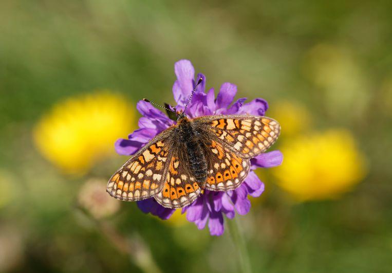 De moerasparelmoervlinder verdween in 1982 al in Nederland, ook in andere landen is nu achteruitgang geconstateerd.  Beeld Getty Images/Westend61