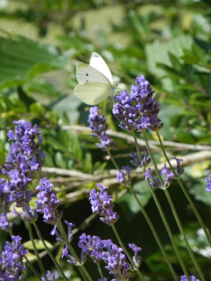 Dankzij planten als lavendel moeten ook bijen en insecten straks aan hun trekken komen aan de Diezerhoven.
