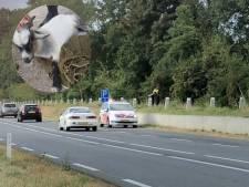 Politie vangt losgebroken geit in Zutphen