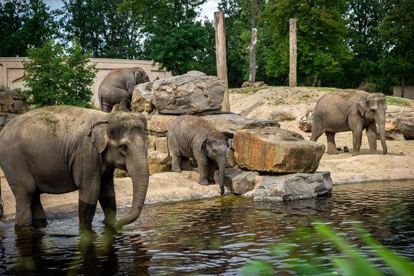 De olifanten van ZOO Planckendael