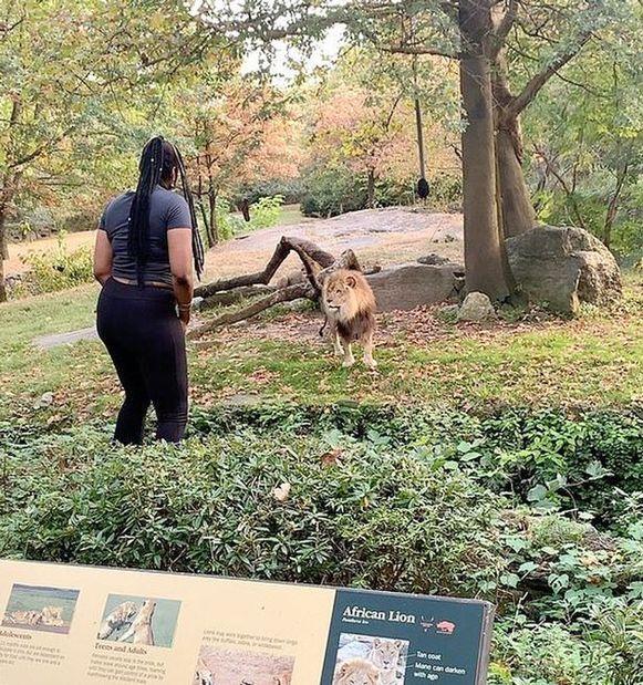 De vrouw treiterde de leeuw