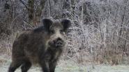 Al 155 gecontroleerde everzwijnen besmet met varkenspest