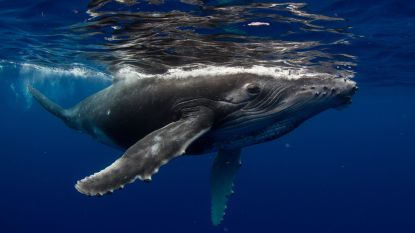Waarom Japans besluit om commerciële walvisjacht te hervatten een voordeel kan zijn voor walvissen