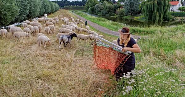 Gezocht: schaapherder zonder sprietje | Oosterhout - BN DeStem