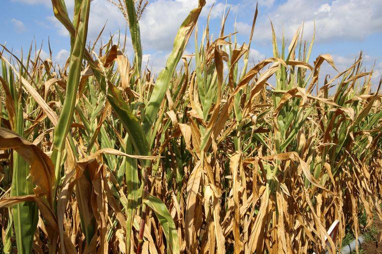 De droogte sloeg ongenadig toe deze zomer op de velden van de land- en tuinbouwers.