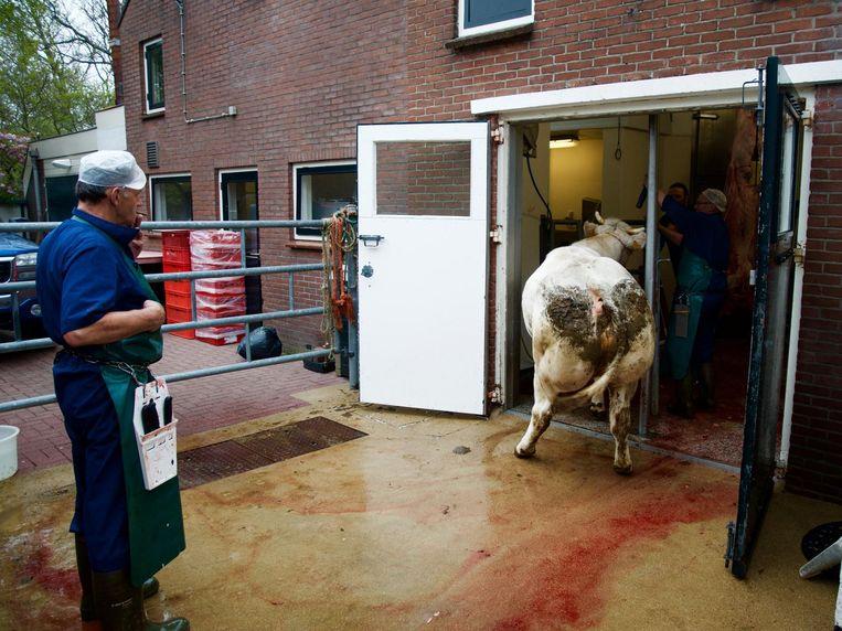 Bij slagerij Konijn in Abcoude worden de koeien eigenhandig geslacht. Jan Konijn kijkt toe hoe een koe 'de klap' krijgt en in elkaar zakt. Beeld Janno Lanjouw