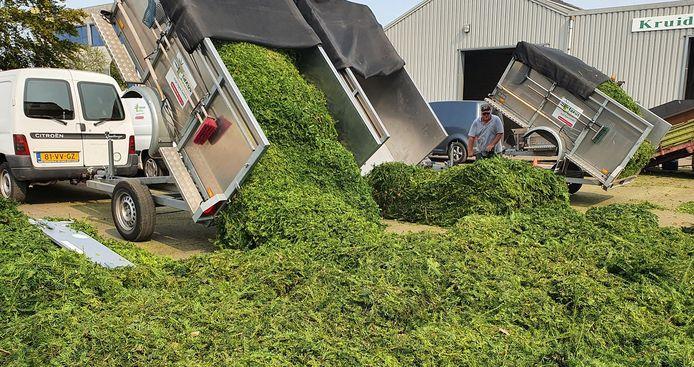 Ingezameld snoeisel wordt afgeleverd bij de kruidendrogerij aan de Longobardenweg in Oss.