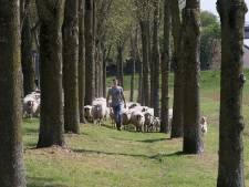 Doesburg bezuinigt grazende schapen weg