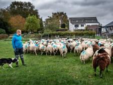 Boeren bewaken hun schapen vanwege mogelijke wolf die Nijmegen nadert: 'De stress slaat toe'