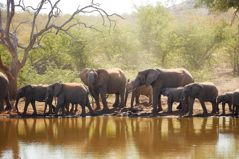 Botswana telt 130.000 olifanten; na een besluit van de president mogen jagers ze afschieten.