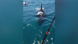 VIDEO. Orka's rammen een vissersbootje in Nieuw-Zeeland