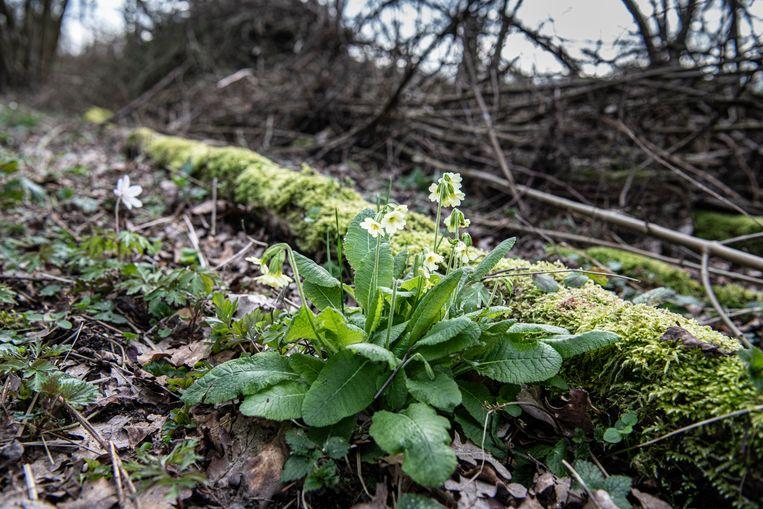 Omdat het natter is, verschijnen ook zeldzame planten in de bossen van Middachten.  Beeld Koen Verheijden