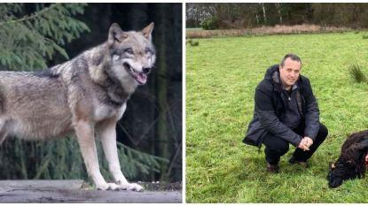 DNA-onderzoek bevestigt: drie doodgebeten schapen waren werk van wolvin