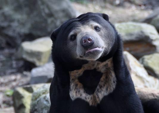 Een van de Maleise beren van de Koninklijke Burgers' Zoo in Arnhem.