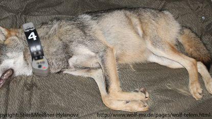 Eerste Belgische wolf nog steeds in bossen van Leopoldsburg