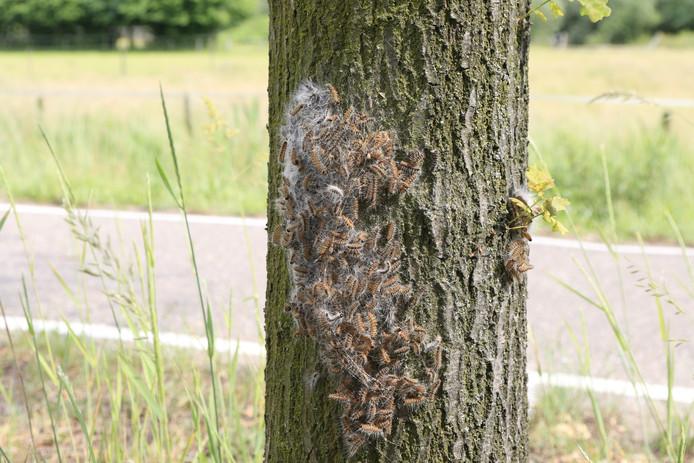 Een nest van de eikenprocessierups.