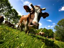 Acht Twentse boeren zwaar in de problemen door stikstofuitspraak
