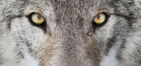 Wolf viel in Brabant schapen aan