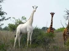 Zeer zeldzame witte giraf en haar jong gedood door stropers in Kenia