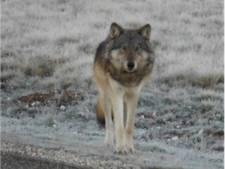 Jager doodt per ongeluk zeldzame Grand Canyon-wolf